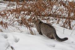 Wilde graue Katze im Schnee Lizenzfreie Stockfotos