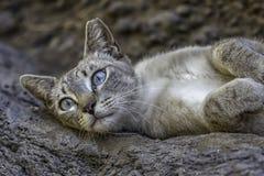 Wilde graue Katze mit blauen Augen stockfotografie