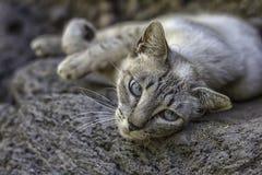 Wilde graue Katze mit blauen Augen stockbilder