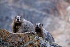 Wilde grauhaarige Murmeltiere auf Felsen Stockbild