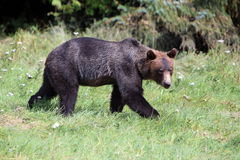 Wilde Grijze Bear4 Royalty-vrije Stock Foto