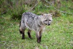 Wilde grijze vos op het gras Royalty-vrije Stock Fotografie