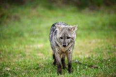 Wilde grijze vos op het gras Royalty-vrije Stock Afbeeldingen