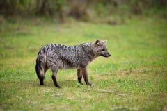 Wilde grijze vos op het gras Stock Afbeeldingen
