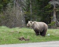 Wilde Grizzly Stock Afbeeldingen