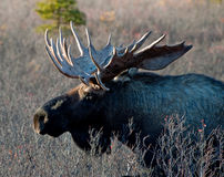Wilde große Bull-Elche Lizenzfreie Stockfotos