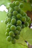 Wilde groene druiven die op de wijnstok rijpen Royalty-vrije Stock Afbeeldingen