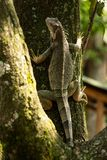 Wilde Groene Hagedis die een boom beklimmen stock foto