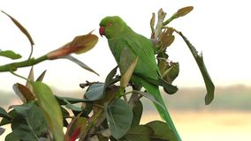 Wilde groene papegaai roze-Geringde Parkiet, Psittacula Krameri in Varanasi, India, 4K-lengtevideo stock footage