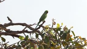 Wilde groene papegaai roze-Geringde Parkiet, Psittacula Krameri in Varanasi, India, 4K-lengtevideo stock video