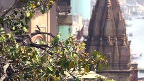 Wilde groene papegaai roze-Geringde Parkiet, Psittacula Krameri in Varanasi, India, 4K-lengtevideo stock videobeelden