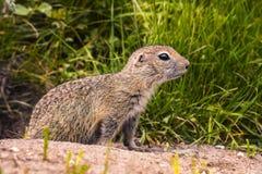 Wilde grondeekhoorn in natuurlijke habitat stock foto's