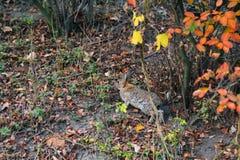 Wilde Hasen, die in den Wald springen Stockbild