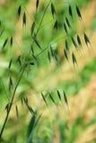 Wilde Haver stock afbeeldingen