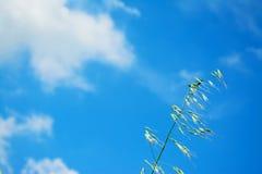 Wilde haver onder een blauwe hemel stock foto