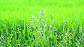 Wilde havergras op gebied in Juli op een zonnige dag stock video