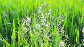Wilde havergras op gebied in Juli op een zonnige dag stock footage