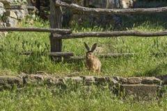 Wilde hazen in het Kroatische platteland royalty-vrije stock afbeeldingen