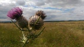 Wilde Heide auf Salisbury-Ebene Stockfoto