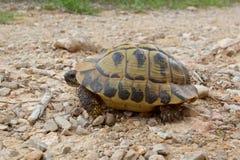 Wilde Hermann-` s Schildkröte auf der Insel von Minorca Stockfotos