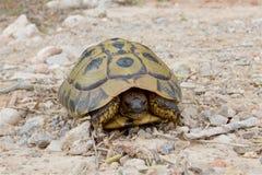 Wilde Hermann-` s Schildkröte auf der Insel von Minorca Stockfoto