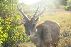 Wilde Herten die de Camera onderzoeken Komodo Nationaal Park, Indonesië royalty-vrije stock afbeeldingen