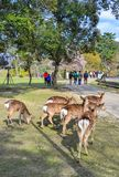 Wilde herten in Nara Park Japan stock afbeeldingen