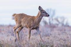 Wilde Herten op de Hoge Vlaktes van Colorado Stock Afbeeldingen