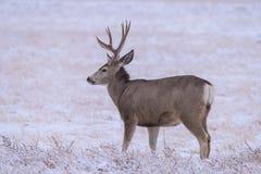 Wilde Herten op de Hoge Vlaktes van Colorado royalty-vrije stock fotografie