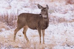 Wilde Herten op de Hoge Vlaktes van Colorado royalty-vrije stock afbeeldingen