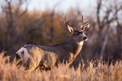 Wilde Herten op de Hoge Vlaktes van Colorado - Muilezelherten Buck During royalty-vrije stock afbeeldingen