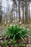 Wilde het bloeien Sneeuwklokjes in het bos Stock Fotografie