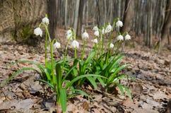Wilde het bloeien Sneeuwklokjes in het bos Royalty-vrije Stock Fotografie