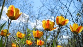 Wilde het groeien tulpen die bij de oude de lentetuin groeien stock footage