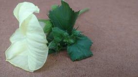 Wilde Hibiscusblume oder gelbe Blume Stockbild