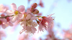 Wilde Himalajakirschblüte Stockfoto