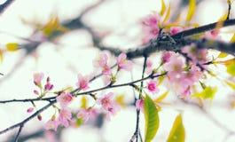 Wilde Himalajakirschblume Lizenzfreie Stockfotografie