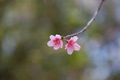 Wilde Himalajakirschblume stockbilder