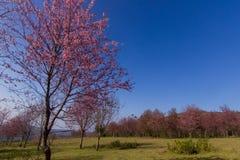 Wilde Himalajakirschblume (Thailands Kirschblüte oder Prunus cerasoides) an Berg Phu Lom Lo, Loei, Thailand lizenzfreies stockfoto