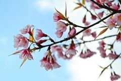 Wilde Himalajakirsche blüht voll blühenden Baum Lizenzfreies Stockbild