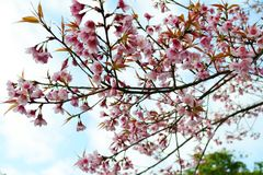 Wilde Himalajakirsche blüht voll blühenden Baum Stockbilder