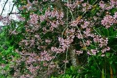 Wilde Himalajakirsche blüht voll blühenden Baum Stockfotografie
