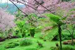 Wilde Himalajakirsche blüht voll blühenden Baum Stockfoto