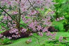 Wilde Himalajakirsche blüht voll blühenden Baum Stockfotos