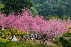 Wilde Himalajakirsche (Kirschblüte von Thailand) Lizenzfreie Stockfotos