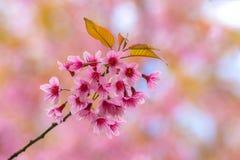 Wilde Himalajakirsche mit rosa und buntem machen Unschärfefarbhintergrund glatt Stockfoto