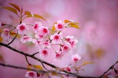 Wilde Himalajakirsche mit rosa und buntem machen Unschärfefarbhintergrund glatt Lizenzfreies Stockbild