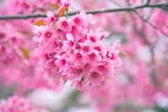Wilde Himalajakirsche mit rosa und buntem machen Unschärfefarbhintergrund glatt Stockbilder