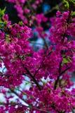 Wilde Himalajakirsche oder Kirschblüte, Thailand stockbild