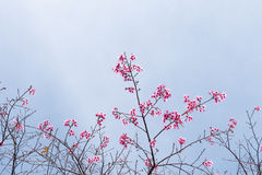 Wilde Himalajakirsche (Prunus cerasoides) Kirschblüte von Thailand Stockbild